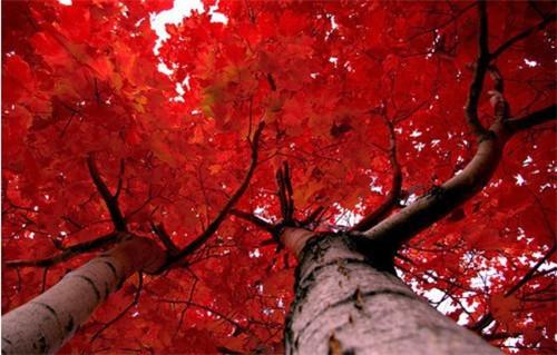 枫叶唯美伤感图片 枫叶美女唯美伤感图片 唯美意境伤感枫-枫叶唯美